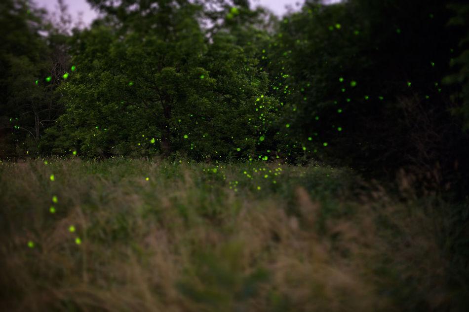 midnite fireflies Exposure Fireflies Fireflies In The Night  Grass Green Color Nature Outdoors Plant Tree Twilight
