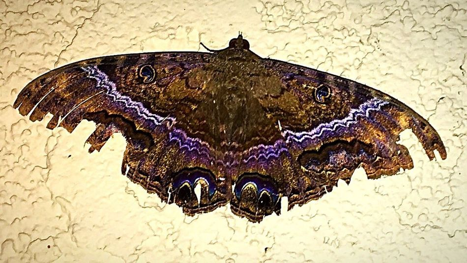 "Huge 5 inch ""Black Witch Moth"" outside work on the wall tonight. Beautiful. Looks like it survived some storms, with its tattered wings and all.✨ Close-up Moth Black Witch Moth Outdoors Nature IPhone Photography Beauty In Nature Insect Theme Nightshot Insect Photography Insect Night Photography Night Creatures Moth Moth Close Up"