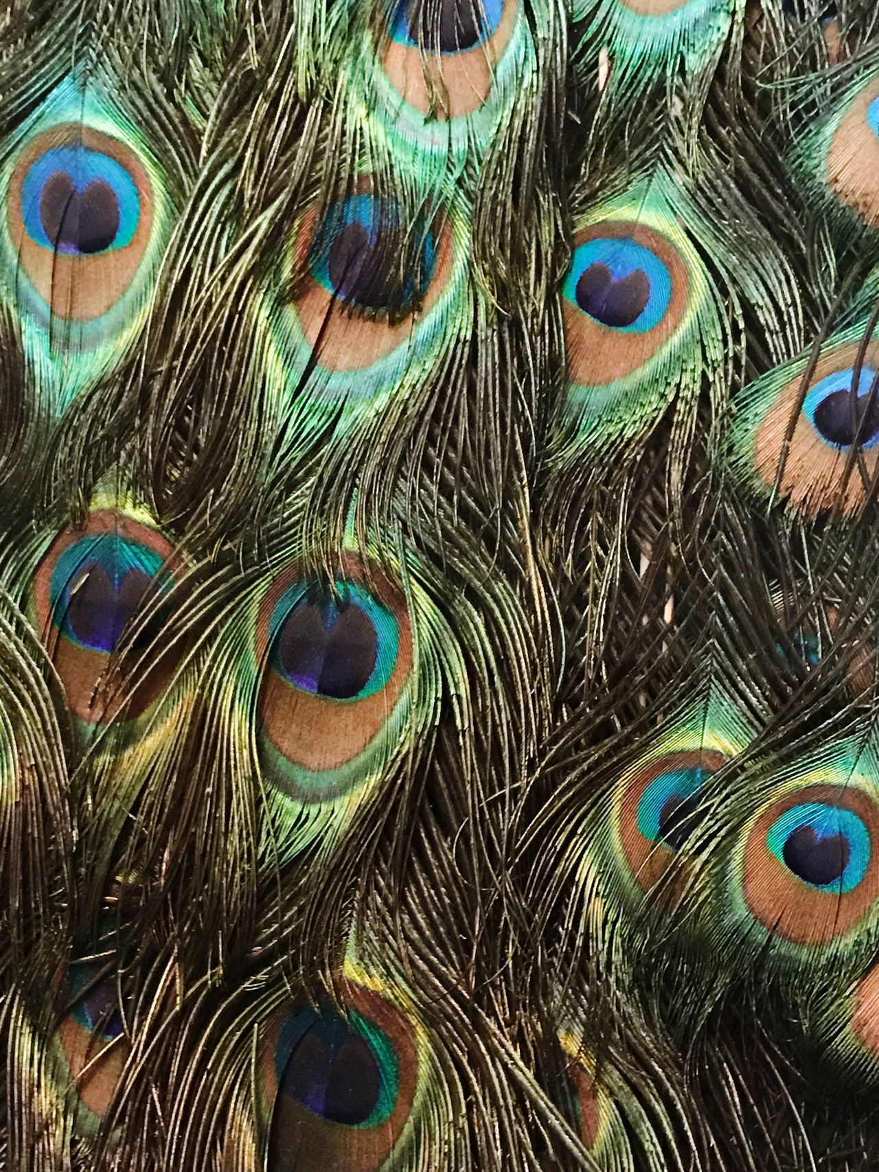 Peacock Peacock Feather Full Frame Feather  Backgrounds Multi Colored Close-up Animal Body Part Bird No People Pattern Animal Themes Indoors  Fanned Out Day Nature