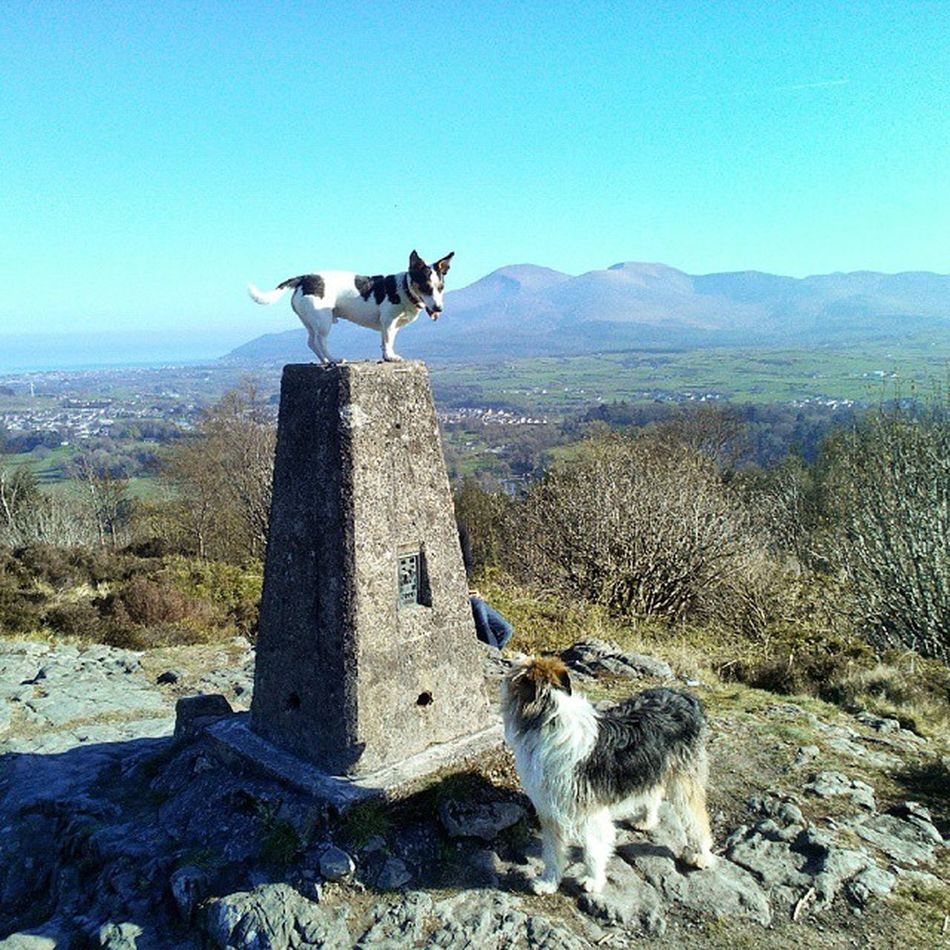 Jack and Bo Doggies Mournes Jackrussell Beardedbordercollie