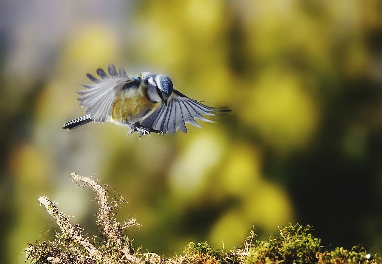 bird, animals in the wild, animal themes, one animal, animal wildlife, spread wings, flying, focus on foreground, mid-air, nature, day, no people, outdoors, motion, close-up, beauty in nature