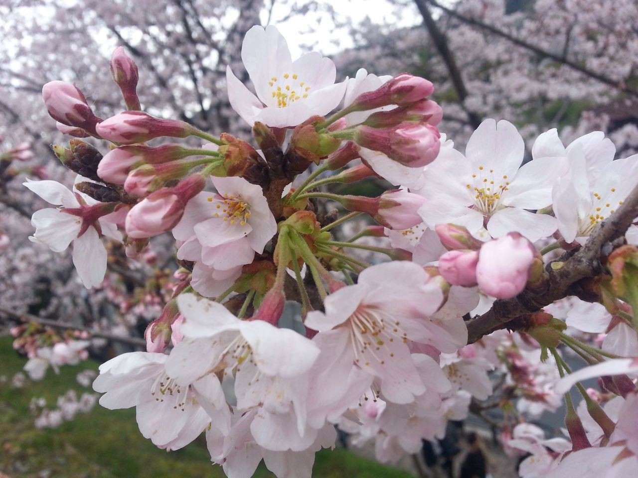 Spring Flowers Flower Nature Petal Beauty In Nature Flower Head Pink Color Close-up Blossom Sakura Japan Kyoto City