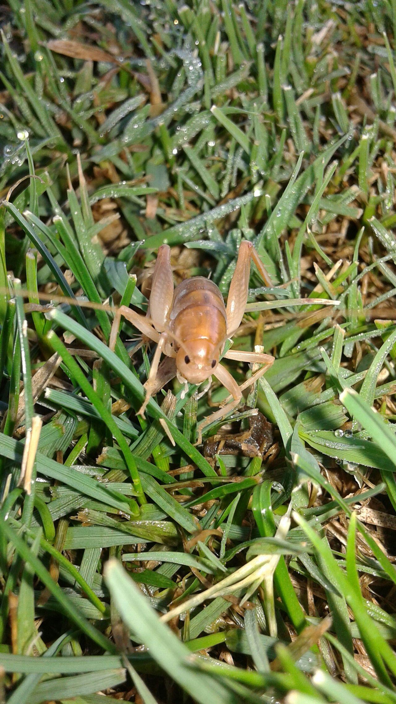 Grass Young Grasshopper Crickets Grasshopper Nature Upcloseandpersonal Bugs