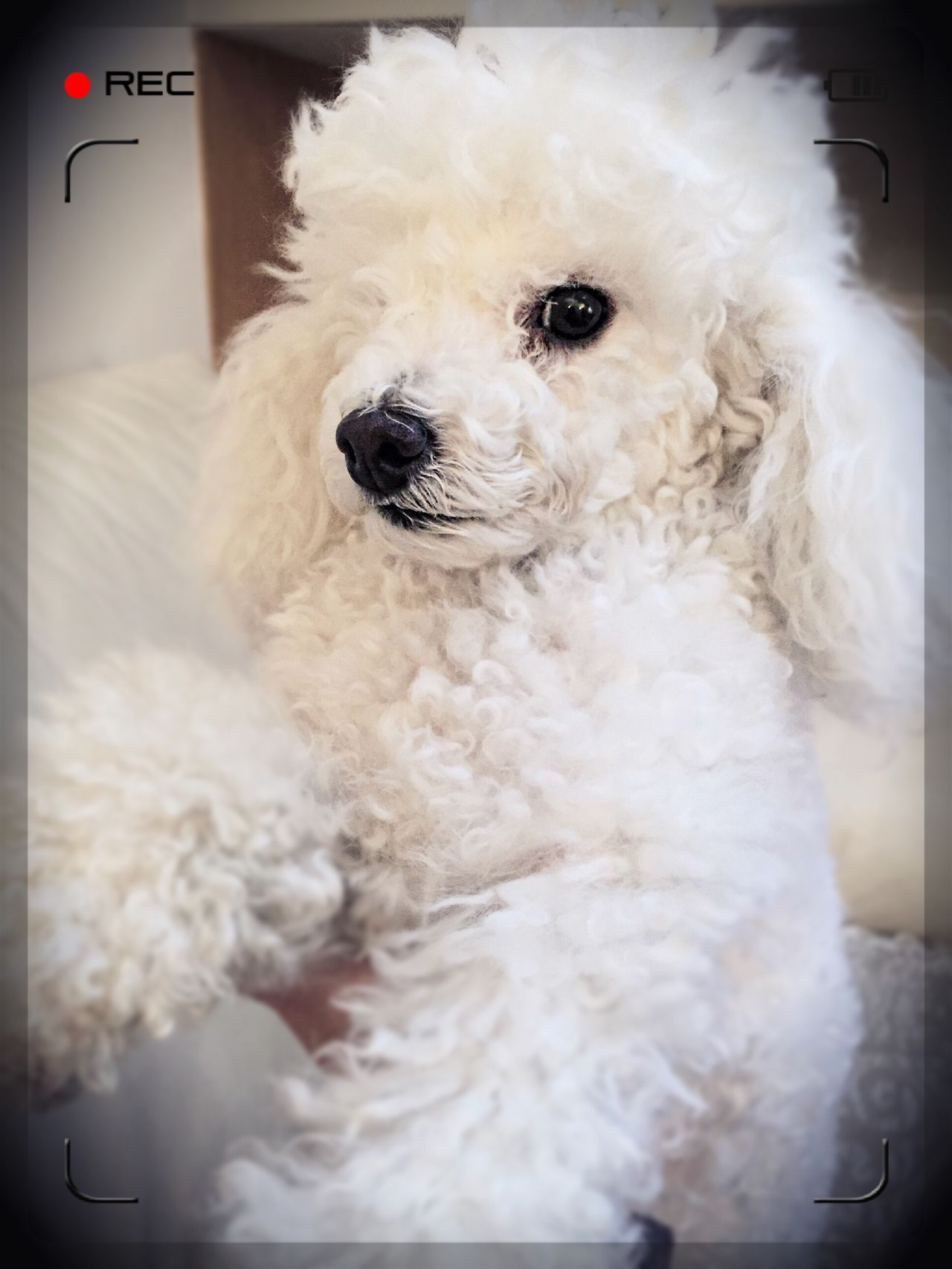 Poodle Poodletoy Poodlemania Pet Dog Funny Animal Photography Animal Head  Animal Themes One Animal Pets Indoors  Close-up Looking At Camera Fluffy Domestic Animals Mammal Cute Animal Nose No People Hairy
