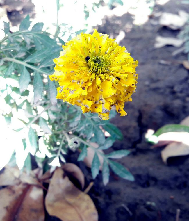 Faisalabad Taking Photos Yellow Flowers Flowers Mobilephotography In Pakistan Beauty Of Nature Eyeem Pakistan Beautiful Pakistanphotochallenge Open Edit Flowerporn Withouteffect Without Filters