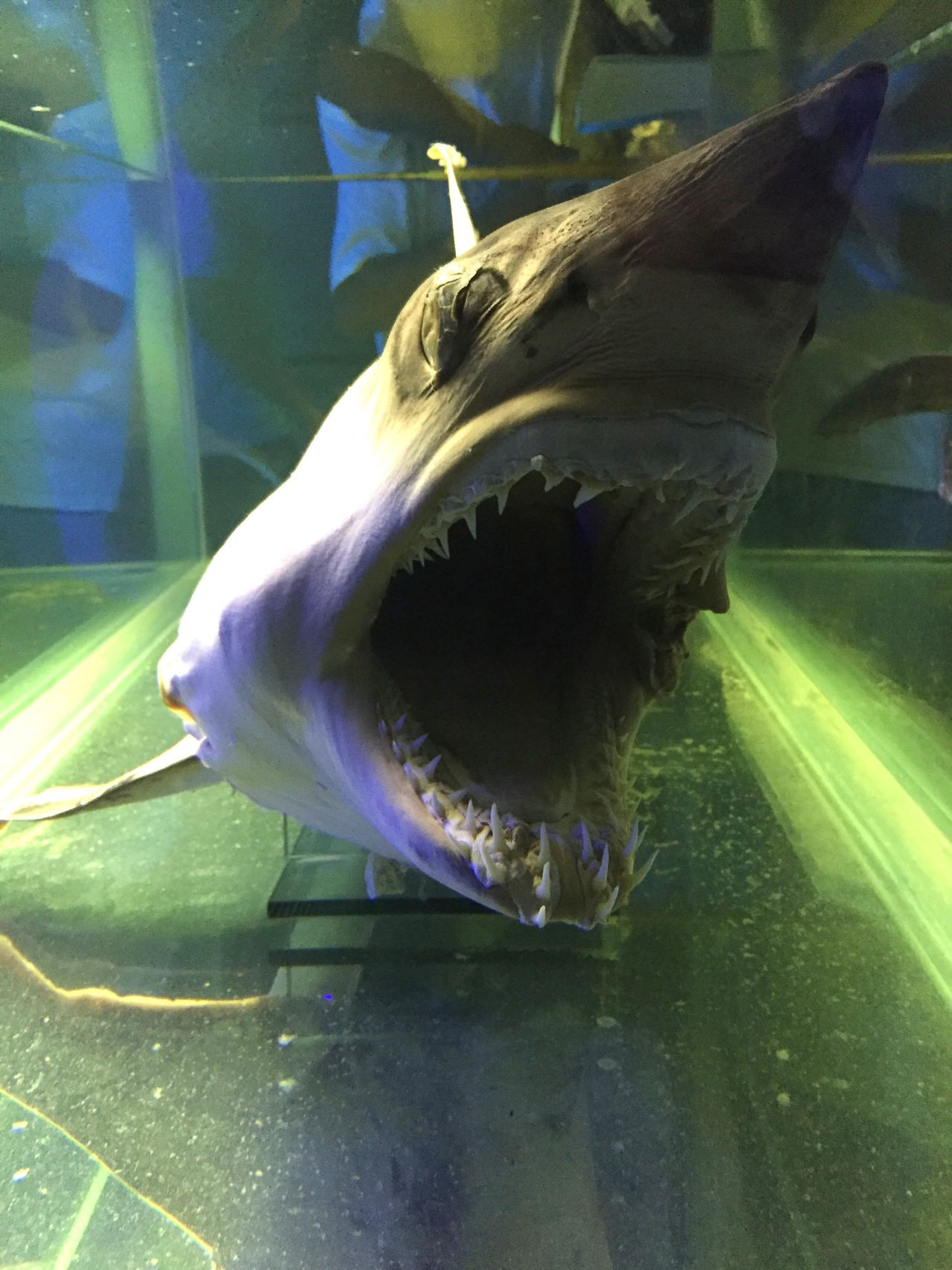Animal Themes Fish One Animal Aquarium Close-up No People Indoors  Nature Water Shark Shark Mouth Shark Teeth Mouth Teeth Jaws Dead Animal Dead Shark