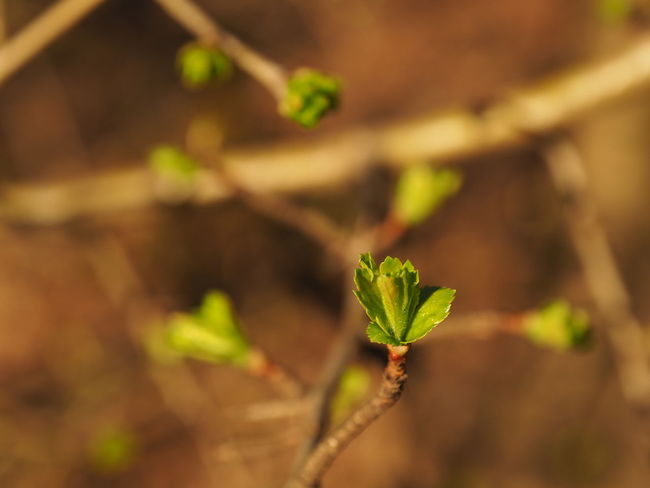 Beauty In Nature Bud Close-up Focus On Foreground Green Buds Green Color Green Leaves Growth Leaf Nature Nature Nature Photography Naturelovers New Leaf New Leaves Plant Selective Focus Showcase March Spring Spring Has Arrived Springtime Twig