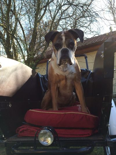 Lilly on tour :-) Dogs SweetLe Dog Boxer Family Matters
