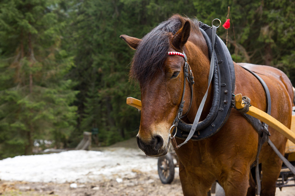 Horse in harness Animal Brown Close-up Forest Harness Horse Mammal Standing Working Horse