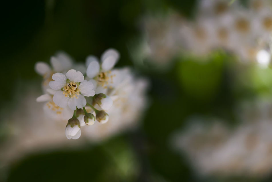 White choke cherry flowers bloom in springtime. Background Bird Cherry Tree Bloom Blossom Blossoming  Botanical Botany Bush Chokecherry Flora Floral Flower Garden Green Growth Natural Nature Petal Plant Season  Seasonal Spring Springtime Tree White