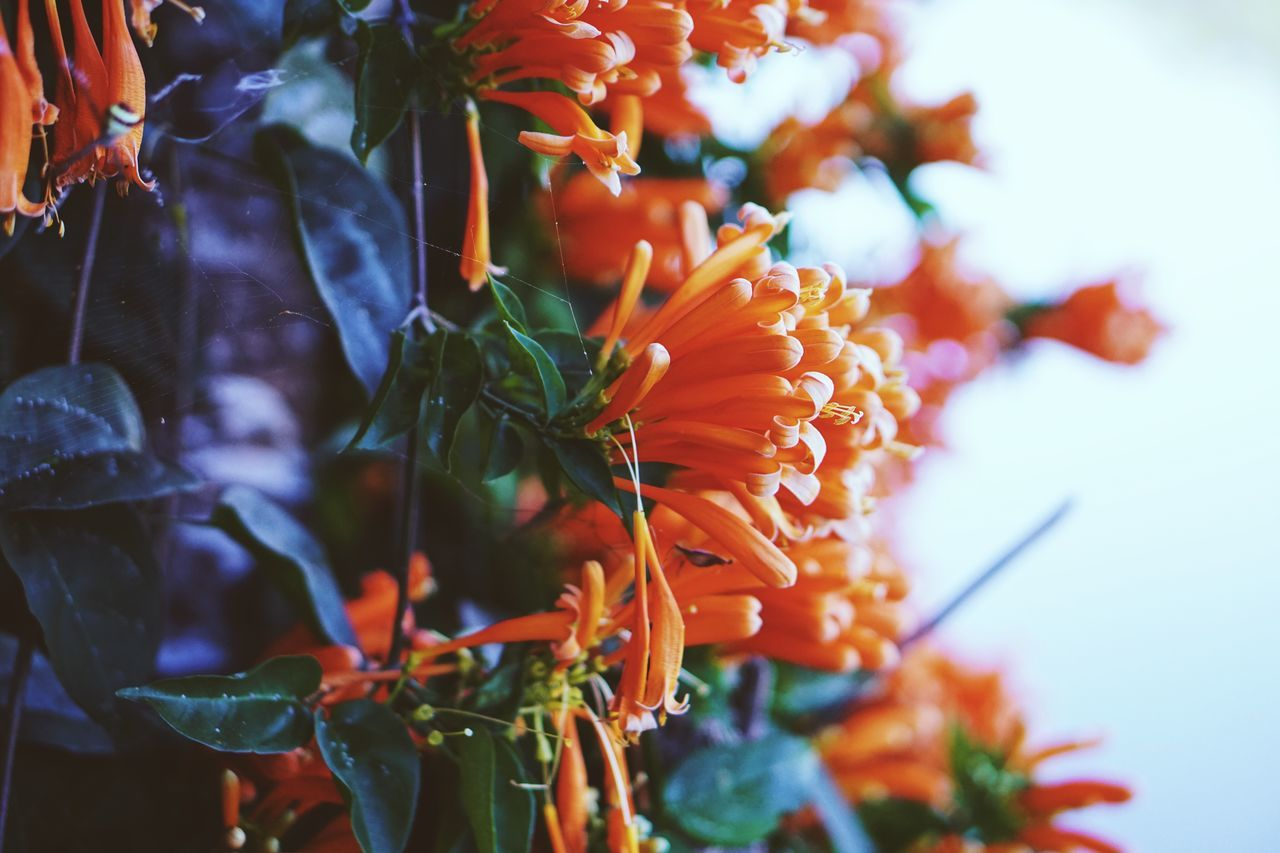 Orange Bloom Color Flora Flower Orange Trumpet Flowers Ivy Plant Season  Colorful Garden Orange Color Beauty In Nature Nature Freshness Growth Close-up EyeEmNewHere EyeEmNewHere