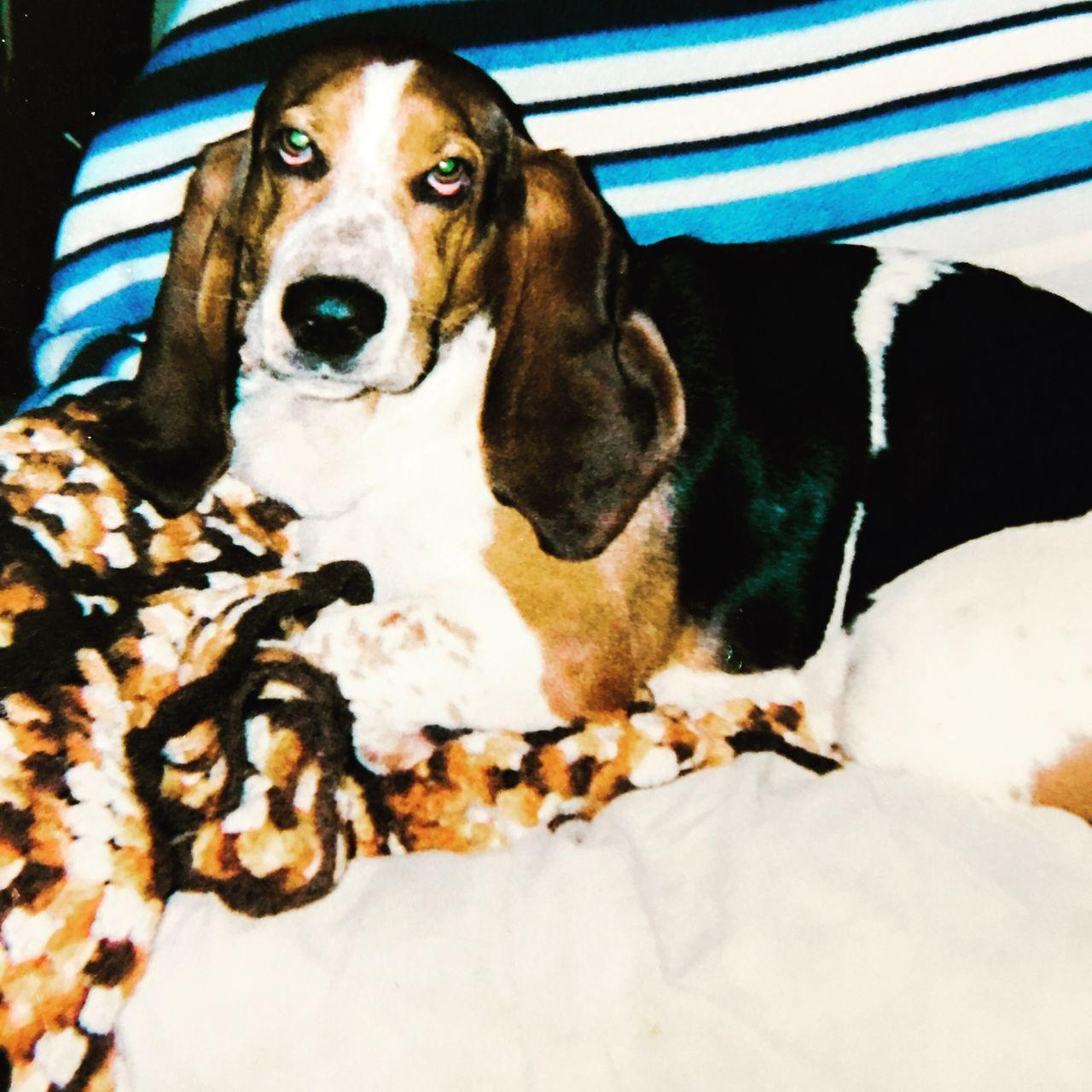 My Auggie RIP Leftforrainbowbridge Angelwatchingoverme Firstbassethound Cheese! Enjoying Life Posing For The Camera Bassetphotography Bassetmoments Bassetworld Iphonephotography Ilovebassethounds