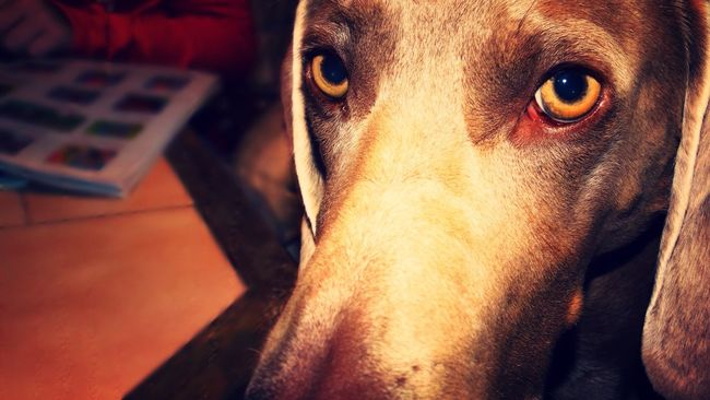 Lilymayparker.blogspot.be Lily May Collection Domestic Animals One Animal Pets Dog Mammal Animal Themes Home Interior Indoors  Close-up No People Portrait Day (null) Weimaraner Beauty In Nature