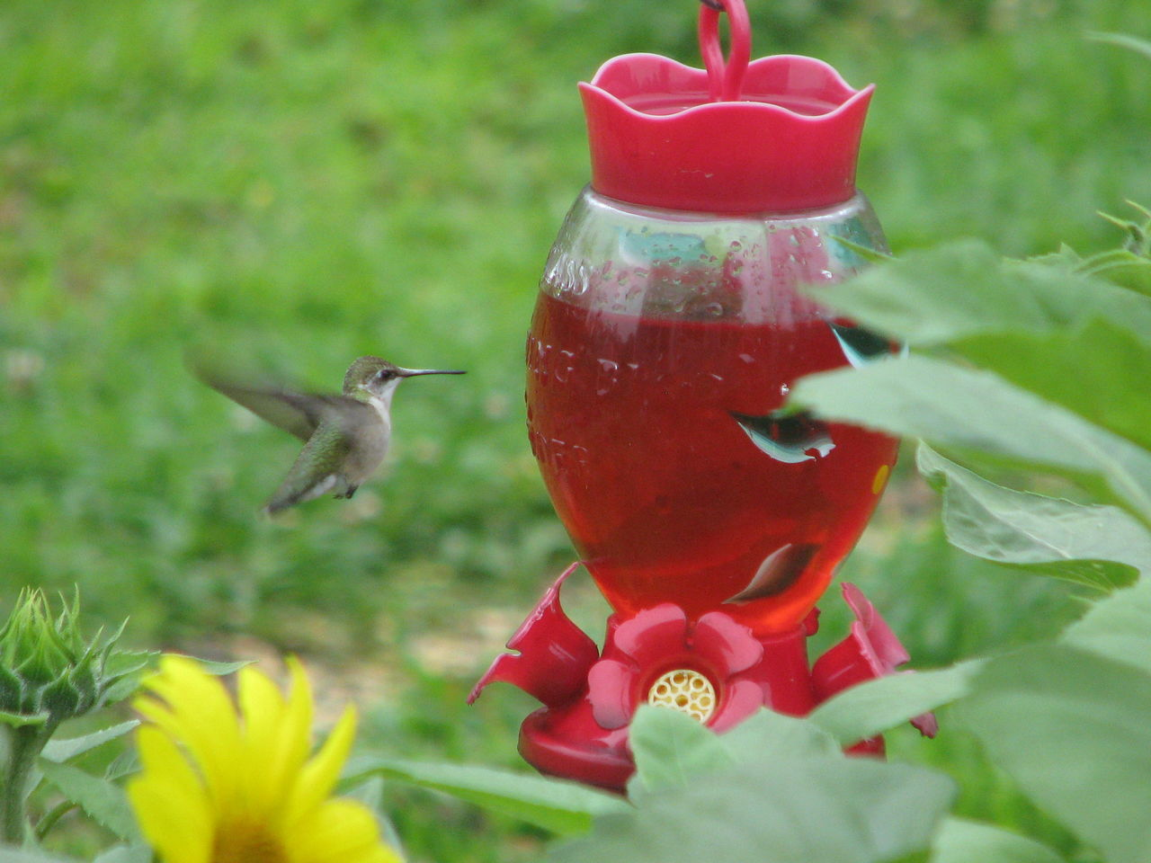 Animal Themes Animal Wildlife Animals In The Wild Bird Bird Feeder Close-up Day Flower Hummingbird Hummingbird Feeder Hummingbird In Flight Hummingbirds Nature No People One Animal Outdoors Red Tree