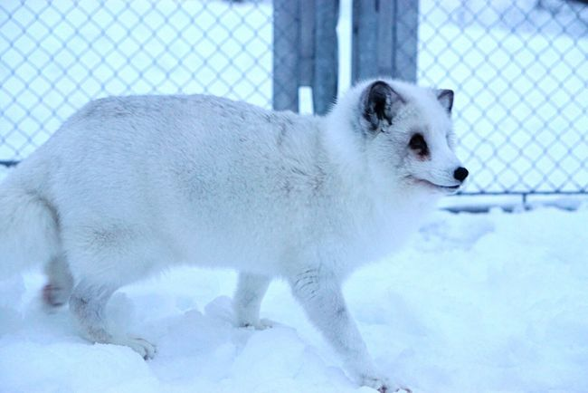 """""""I'm not doing anything sneaky; no no, not me"""" - the sly fox White Fox Sneaky Look Sly Sneaky Plotting White Snowcovered All Fours Pacing Cute Adorable Fox Animal Winter White Fur Close-up - Traveling in Narvik , Norway"""