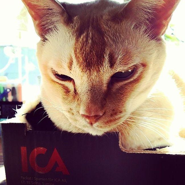 Cat in fruit box ? Cat Burmacat Fruitbox Ica