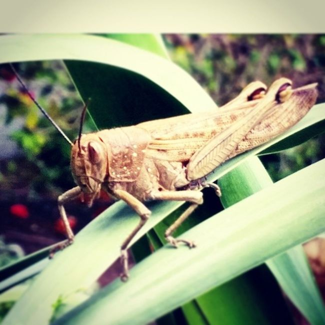 This Huge Cricket out front of our place just now! Goodluck Asbigasmythumb luckycricket