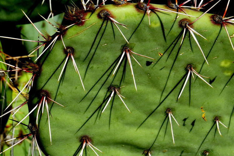 Keep Your Distance Cactus Leaf Botany Cactus Spines Close-up Detail Focus On Foreground Green Color Growing Leaf Natural Pattern Nature Plant Selective Focus Stem