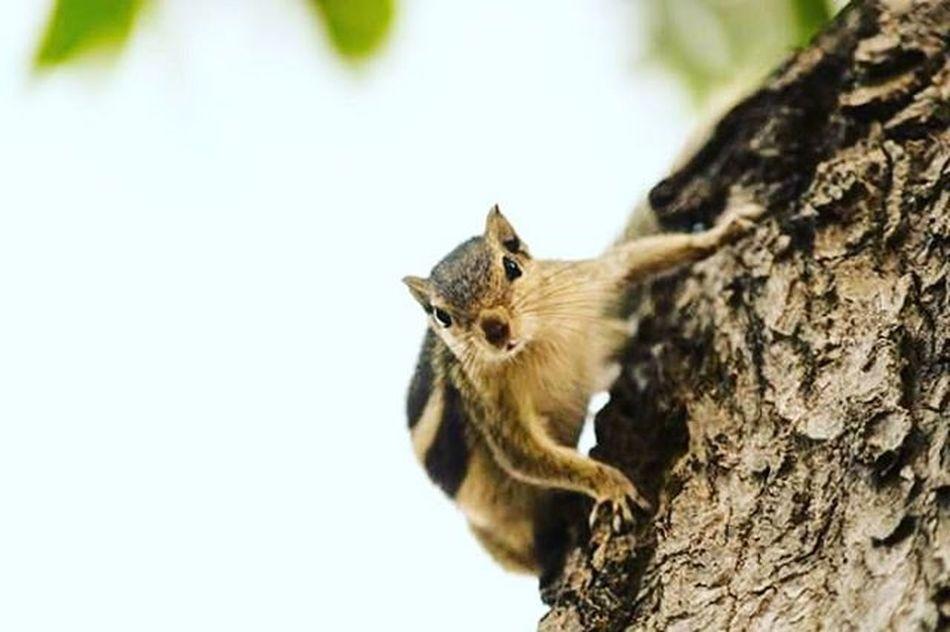 Nikon Nikonphotography VSCO Vscogrid Vscocam Ig_great_shots Ig_india Igaddict Animals Animallovers Squirrel Discoverearth Ig_animals Chipmunks  Nature Tree Squirrels Squirrelsofinstagram