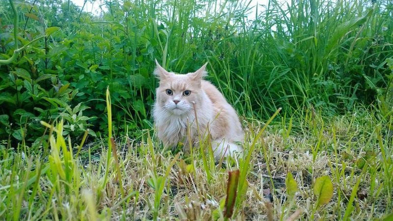 Cat Cats Cat♡ Cat Lovers Catsofinstagram Catoftheday Cats Of EyeEm Catsagram Catlovers Cats 🐱 Catstagram Catlover Cat Photography Grassy Animals Animal Animal Themes Animal Photography Animal Love in Norway