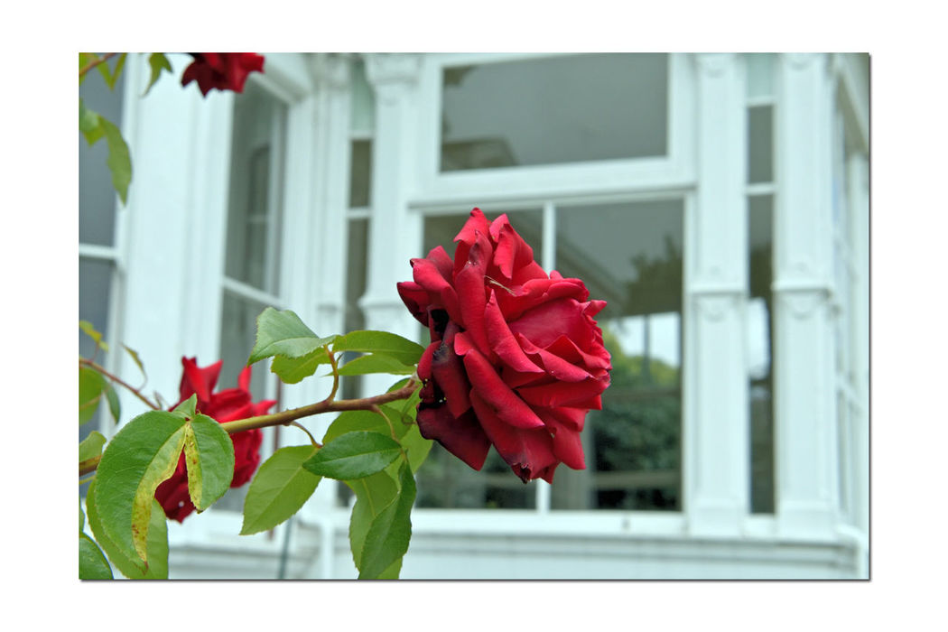 Flowers @ Meek Mansion 3 Rose🌹 Rosa Rosaceae Estate Garden Flower Lovers Flower Collection Prickly Bush Fragrant Red Color Windows Framed By Mansion Windows Garden Lovers Garden Collection Garden Photography Architecture: Victorian Style : Second Empire Italian Villa