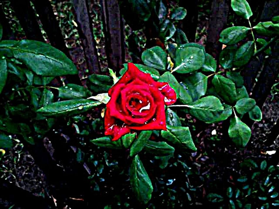 M.J....... Beautiful Nature Live. EyeEm GalleryNaturaleza Plant Life Vida Plants 🌱 Photographic Memory Photography Plants And Flowers Reflection_collection First Eyeem Photo Nature Photography Photo Of The Day Photo Photos Phoyography Rosas🌹🌹 Rojo❤ Colors Rosas Rojas Rosas