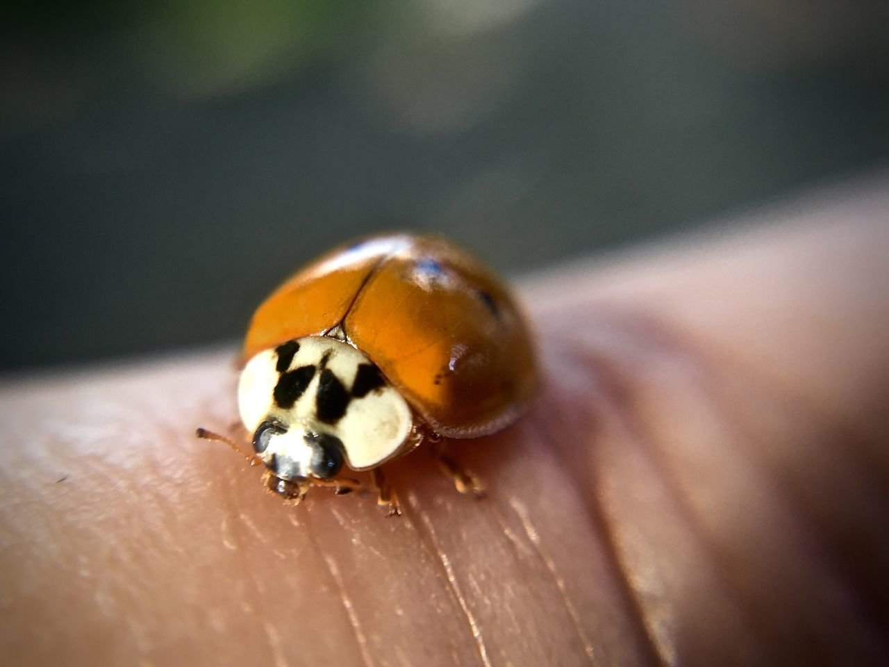 one animal, animals in the wild, insect, animal themes, animal wildlife, close-up, wildlife, ladybug, tiny, day, outdoors, human body part, nature, one person, human hand