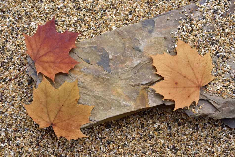 Autumn Background Beauty In Nature Blank Change Close-up Confession Day Dry Indoor Leaf Leaves Maple Maple Leaf Mapleleaf Message Nature No People Outdoors Rock Sand Stone Sunlight Tell Tree