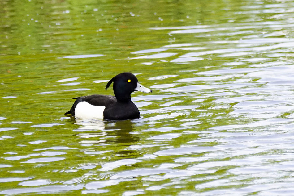 Wildfowl at a farm in Godalming, Surrey, UK. Animal Themes Animal Wildlife Animals In The Wild Bird Chick Day Duck Duckling Ducklings Ducks England Godalming Lake Mallard Mallard Duck Mallard Ducks Moorhen Moorhens Nature No People Offspring Outdoors Surrey Swimming Water