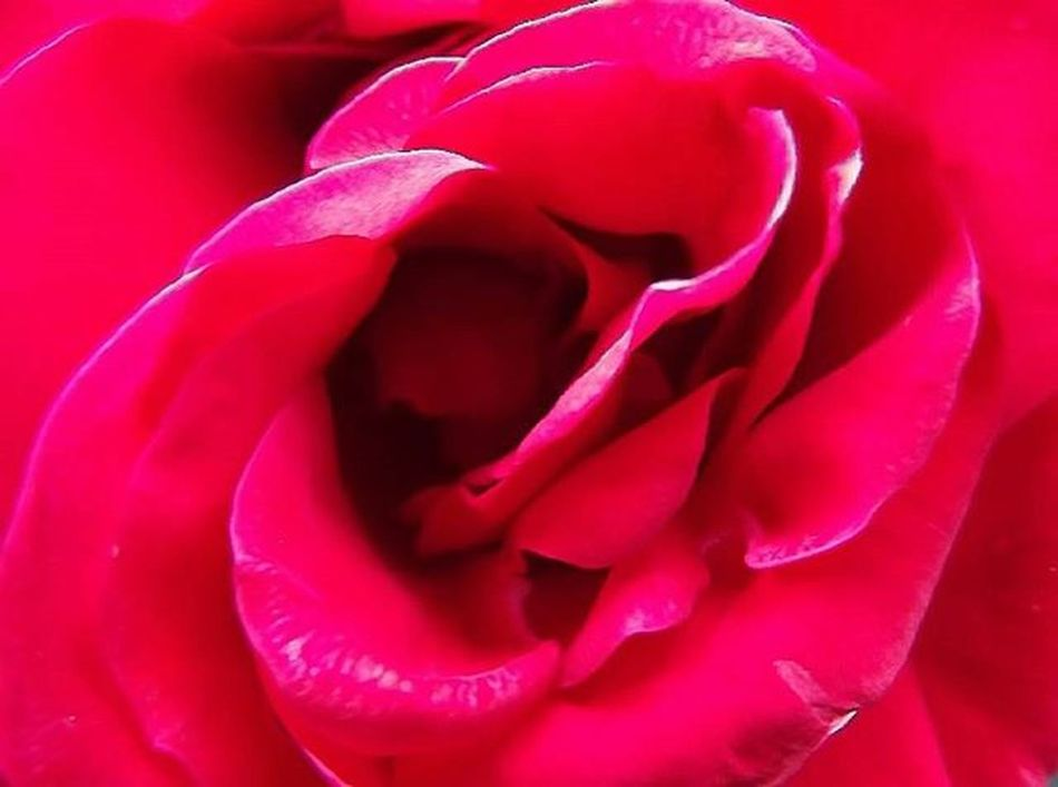 Rosé Redrose  Flower Nature Frimleypark Red Romance Pocket_colors 9Vaga_ColorRed9 Filltheframe_nio Tt_wt_rflora Ptk_flowers_red1 Hello_red