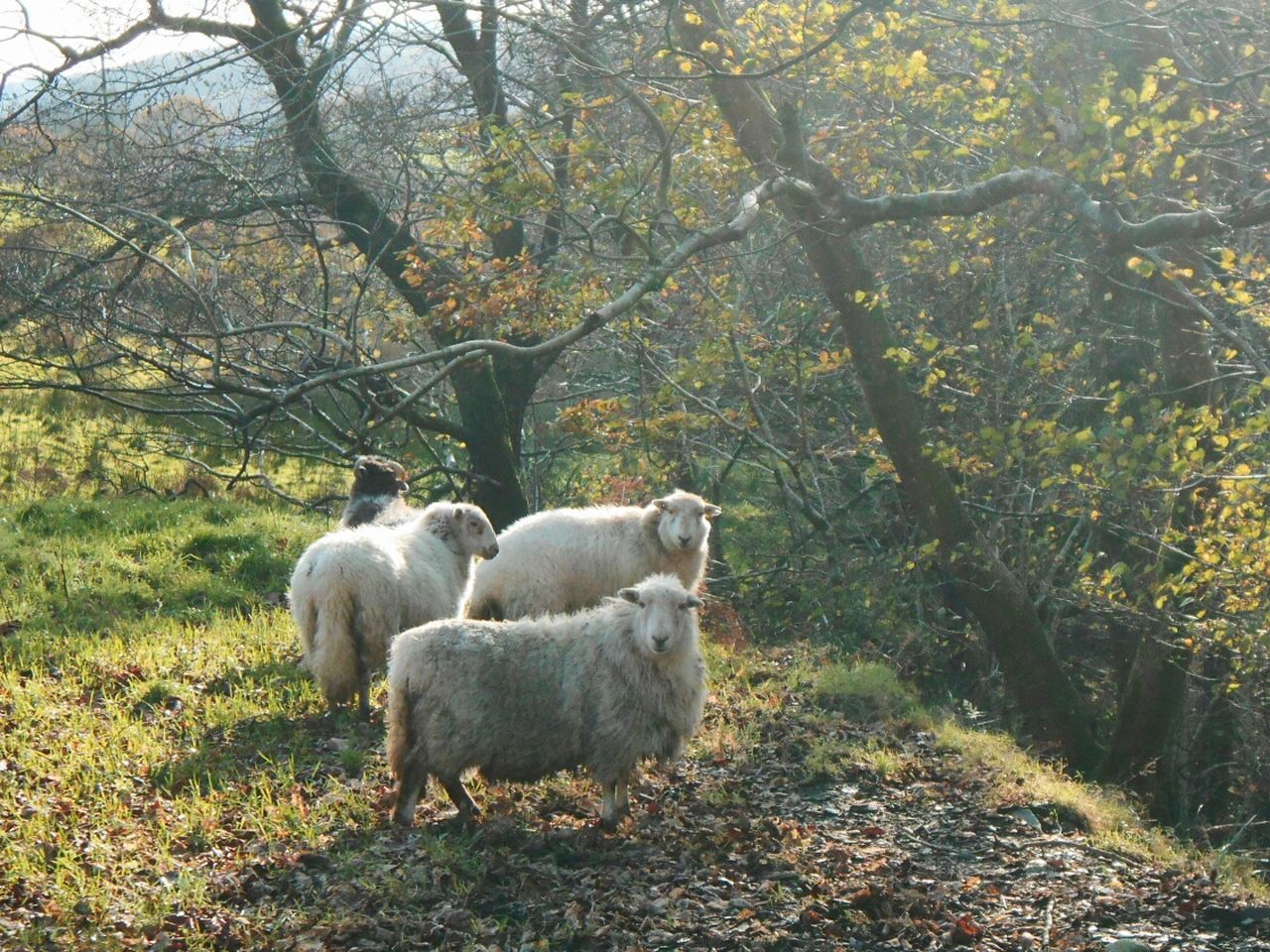 A psychologist turned farmer told me today: It's easier with the sheep... Wales Sheep Farm Farm Life Farmland Livestock Animals WoodLand Pasture North Wales овцы Ovelha Ovelles