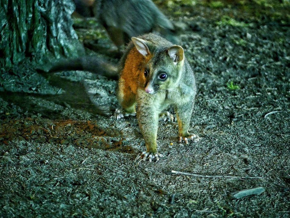 Beautiful stock photos of raccoon,  Alertness,  Animal Themes,  Animal Wildlife,  Animals In The Wild