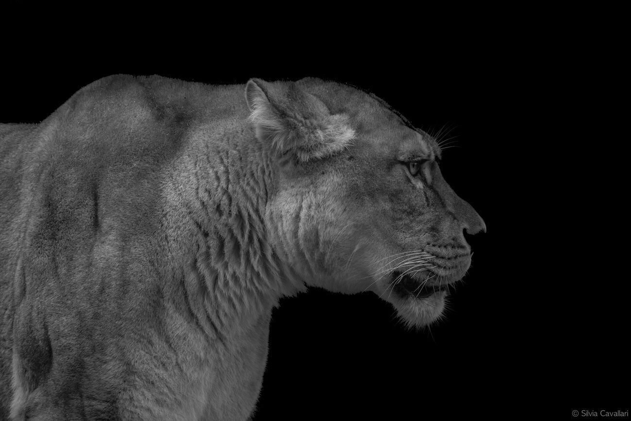 Animal Themes Animals In The Wild Black Background Blackandwhite Fierce Fiercefelines Leo Lion - Feline Lioness No People One Animal Panthera Leo Safari Animals