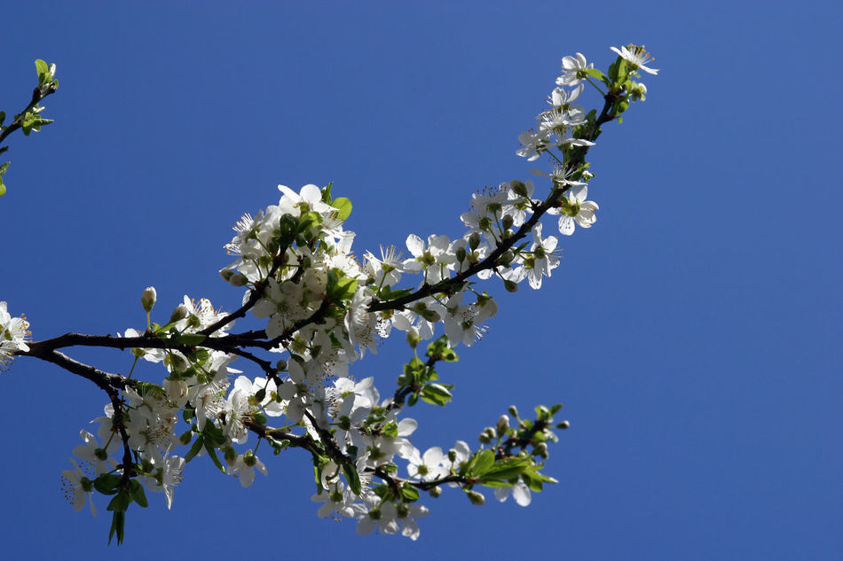 Branch Beauty In Nature Beginning Bloom Blooming Blossom Earliest Easter Flora Flower Flowering Freshness Fruit Garden Growth Nature Purity Seasons Serenity Softness Spring Springtime Tree
