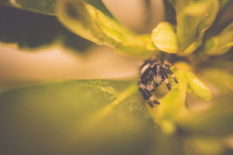 Arachnid Bug Close-up Green Growth Hiding Jumping Spider Leaves Macro Nature No People Phid Phidippus Regius Plant Salticidae Spider Widing