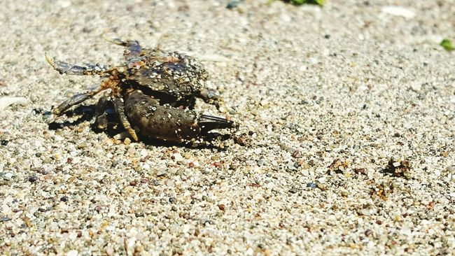 Crab Sand Beatiful Amazingthings Amazing Taking Photos Beach Beatiful Nature Seaanimals EyeEm Best Shots Enjoying Life Check This Out Saklimedia Nature