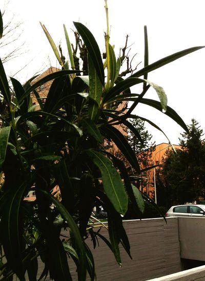 Oleandro Sotto La Pioggia Gocce Di Pioggia Tree Leaf Growth Plant No People Outdoors Nature