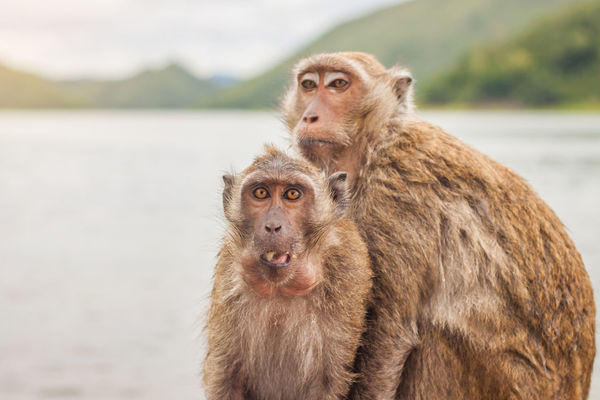 Two monkey are eating a banana beside the lake and mountain background, Thailand. Animals In The Wild Ape Banana Eating Family Looking At Camera Rhesus Macaque Sitting Thailand Animal Themes Animal Wildlife Beauty In Nature Brown Close-up Focus On Foreground Food Lake Mammal Monkey Mountain Nature Outdoors Portrait Twins Young Animal