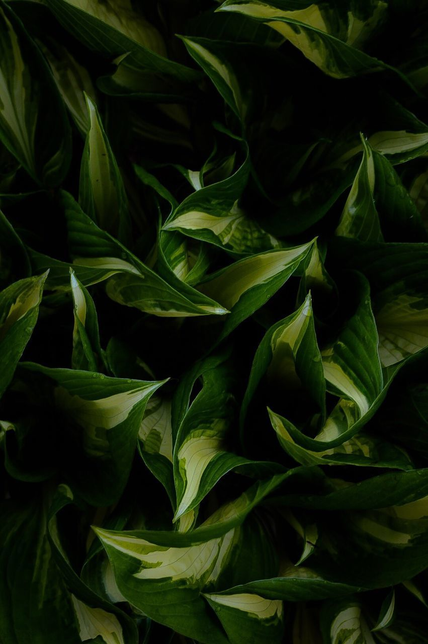 green color, leaf, no people, close-up, full frame, freshness, studio shot, backgrounds, petal, growth, fragility, plant, nature, beauty in nature, food, indoors, flower, day, flower head