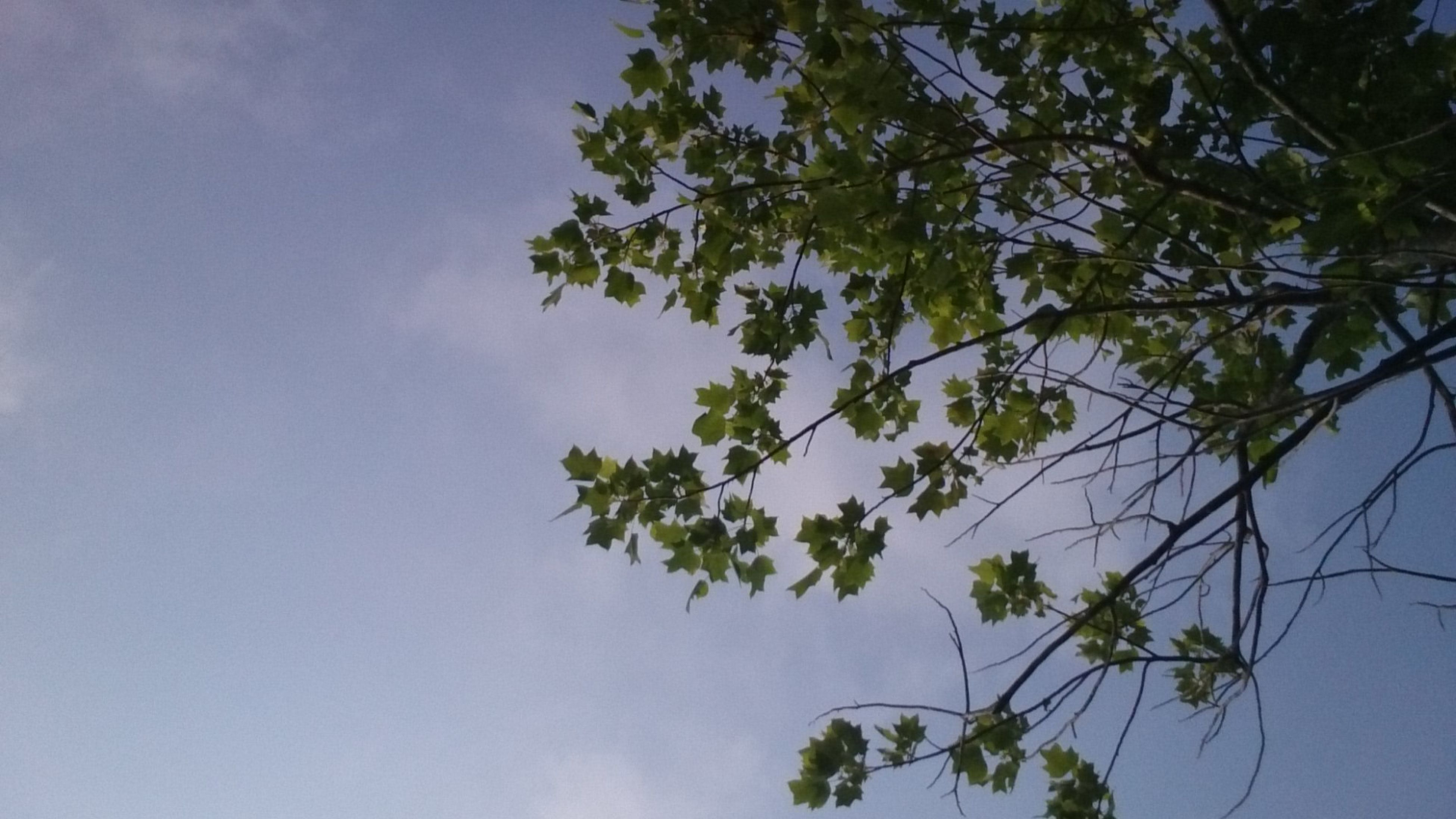 tree, low angle view, sky, growth, branch, beauty in nature, nature, tranquility, leaf, scenics, tranquil scene, green color, blue, day, cloud - sky, outdoors, no people, cloud, plant, high section