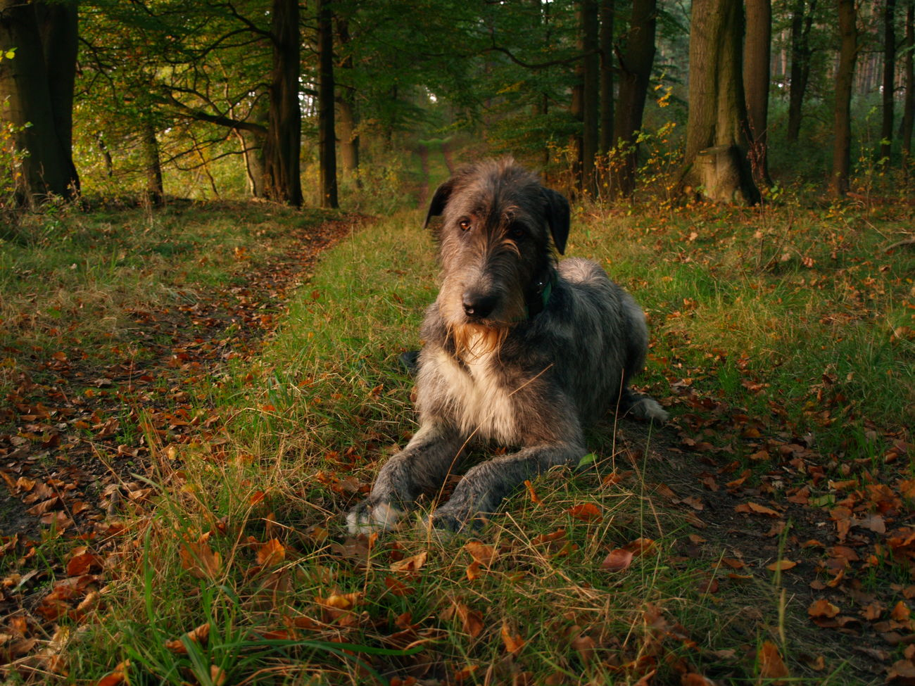 Irish Wolfhound A Walk In The Woods Enjoying Life Hanging Out Hearthound Asgard