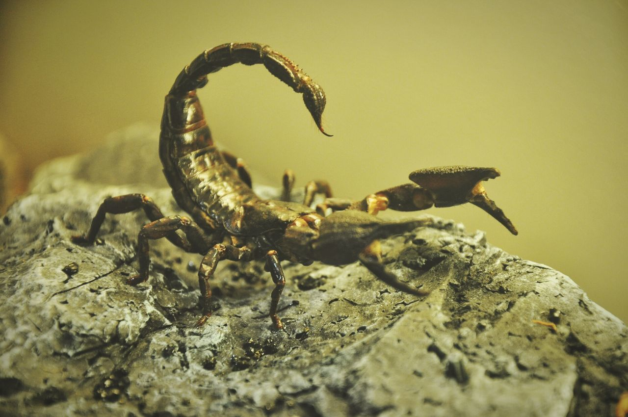 Beautiful stock photos of scorpion, Animal Themes, Animals In The Wild, Close-Up, Danger
