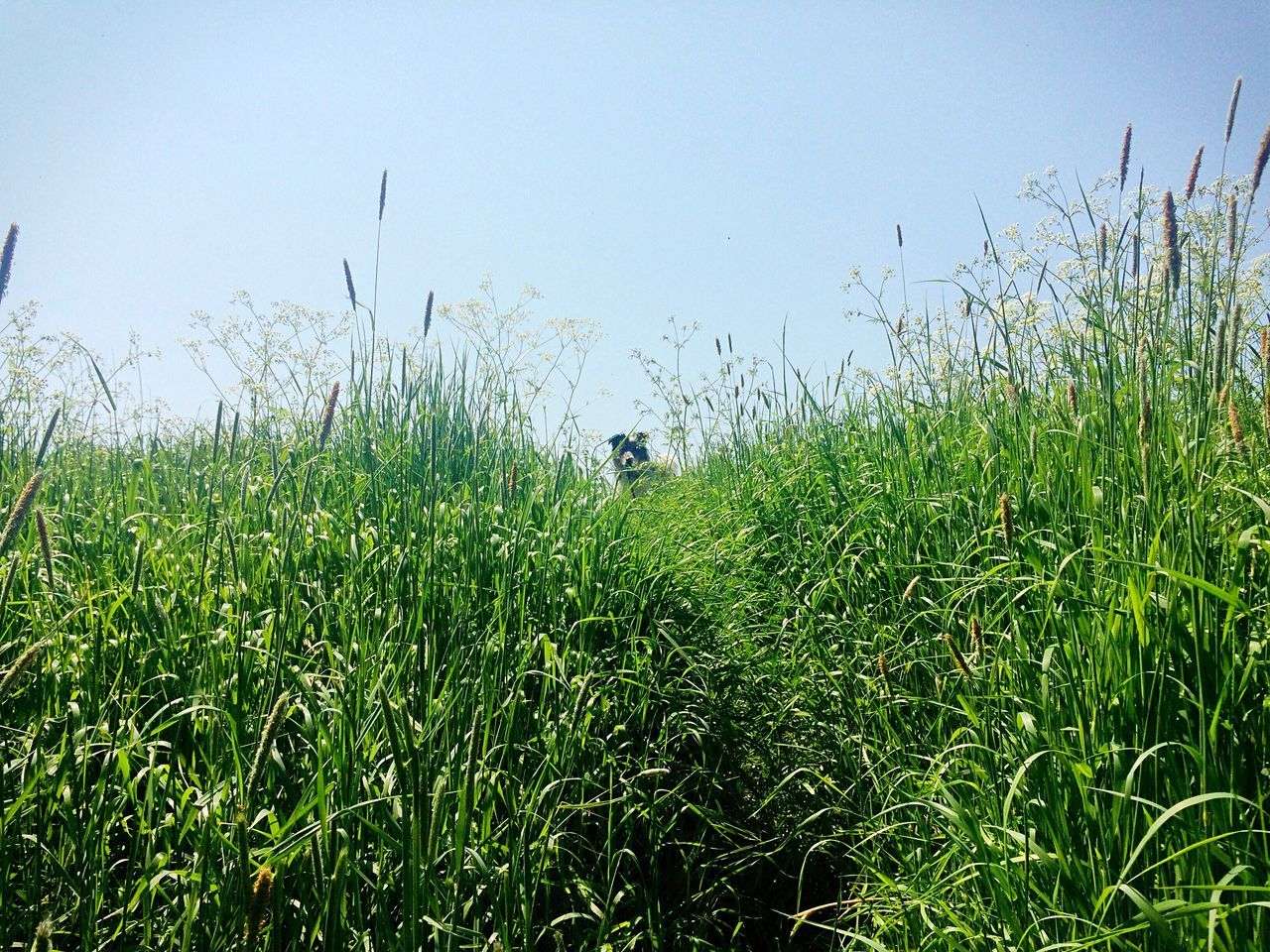 """Are you coming?"" Grassy Grass Day Sky Long Grass Green Up Shot Hill Plant Animal Dog High Angle View Blue Tranquil Scene Landscape Nature Beauty In Nature"