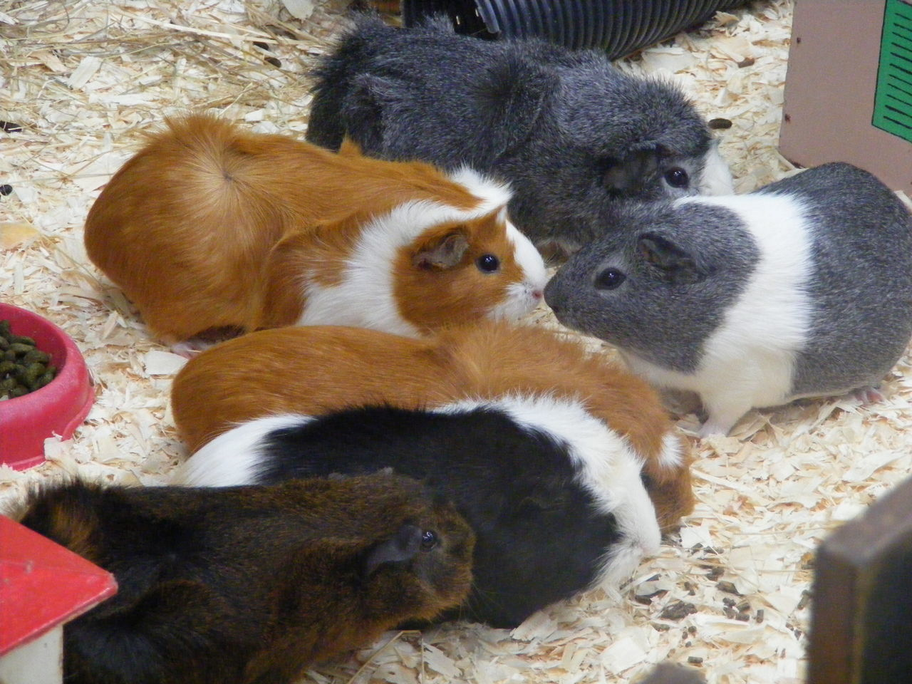 Beautiful stock photos of guinea-pigs, Animal Themes, Animal Wildlife, Animals In The Wild, Day