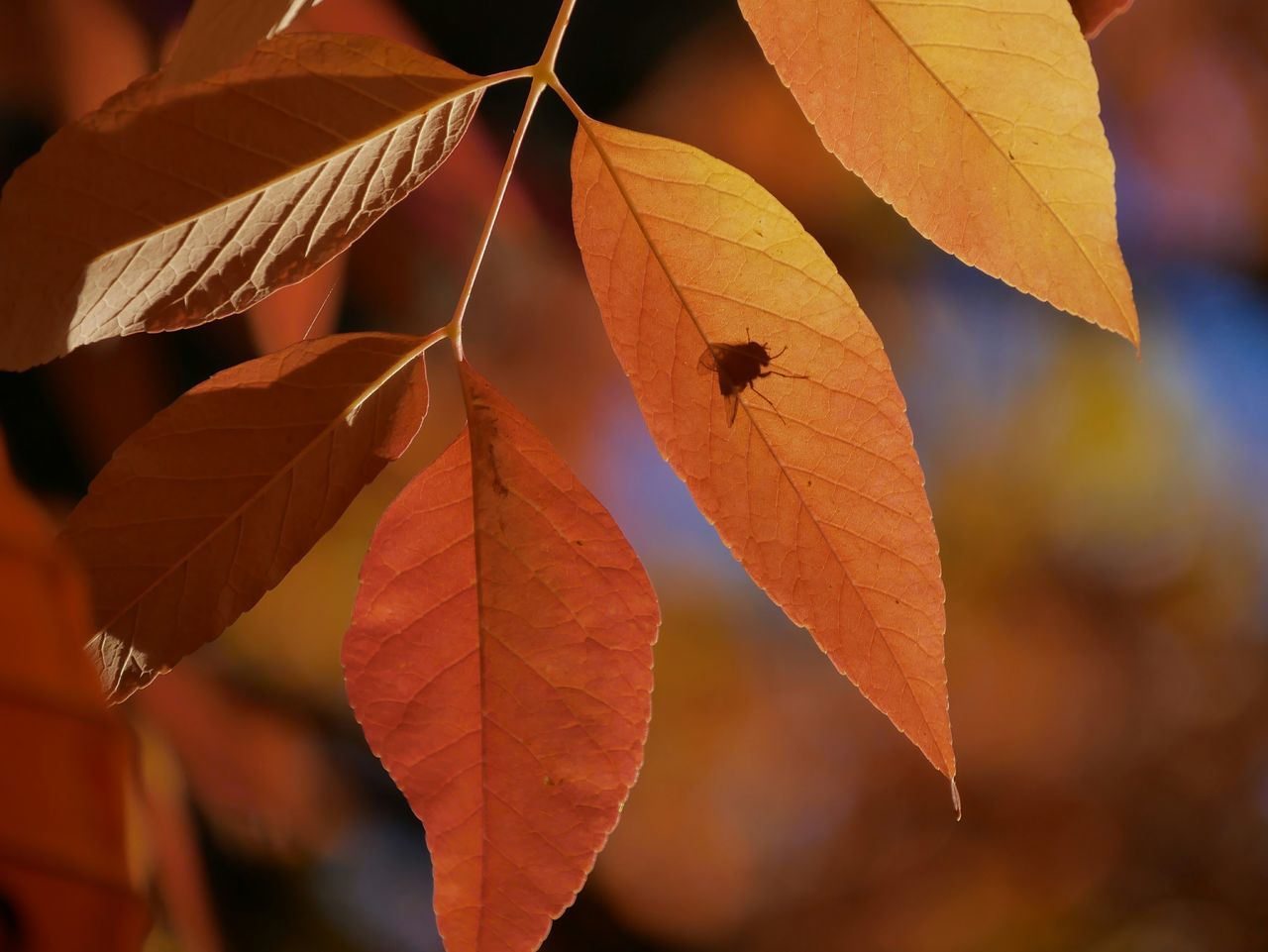 leaf, autumn, change, focus on foreground, close-up, day, no people, outdoors, maple leaf, nature, maple, beauty in nature