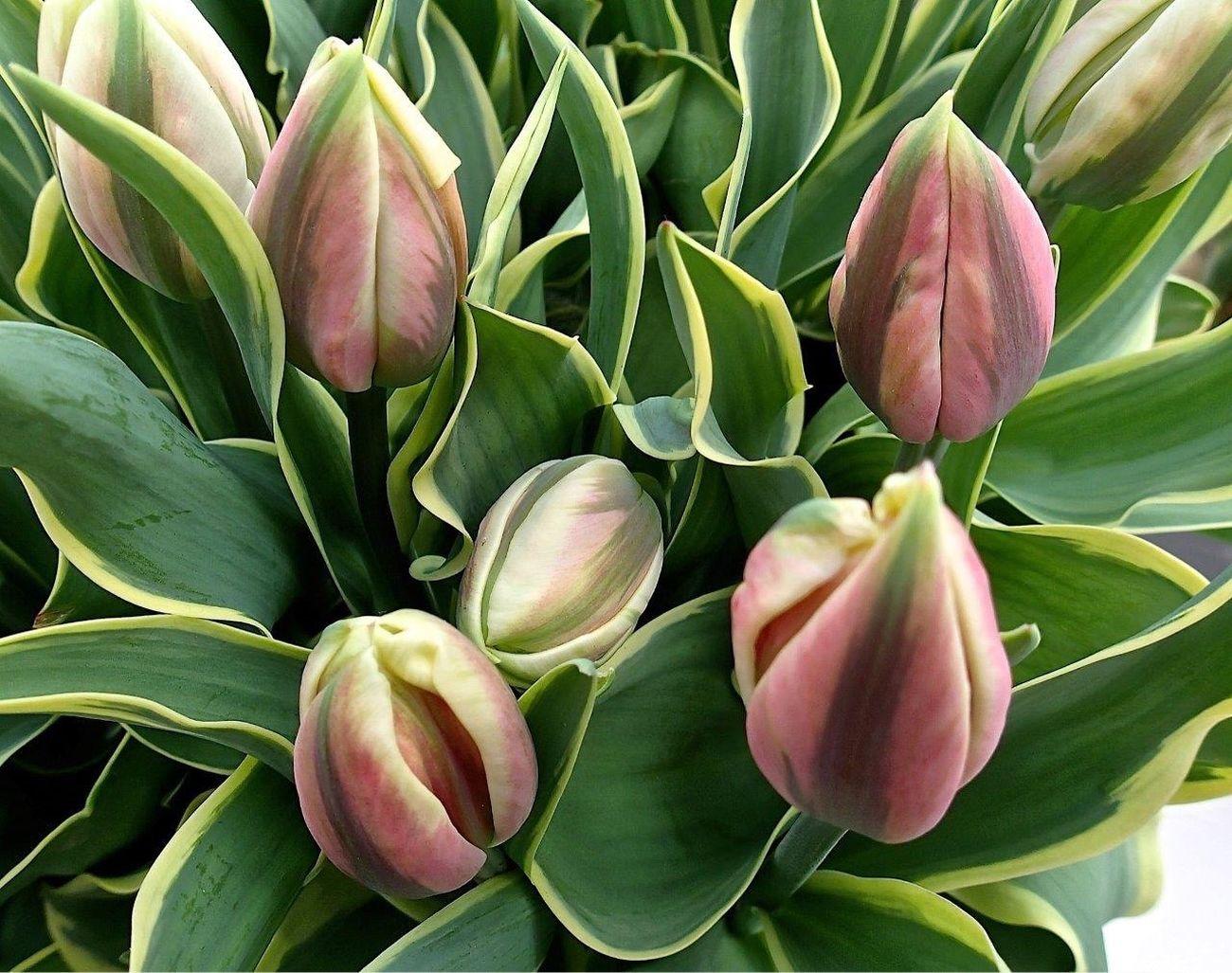 Flowers Flower Tulips🌷 Tulpen Tulip Tulipan Kaukenhof Holand Holandia