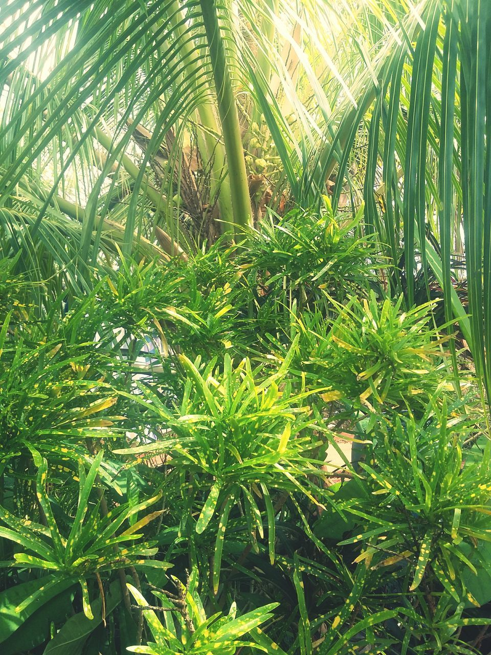 growth, green color, nature, leaf, palm tree, beauty in nature, plant, day, outdoors, frond, sunlight, no people, tranquility, tree, grass, close-up, bamboo - plant, freshness