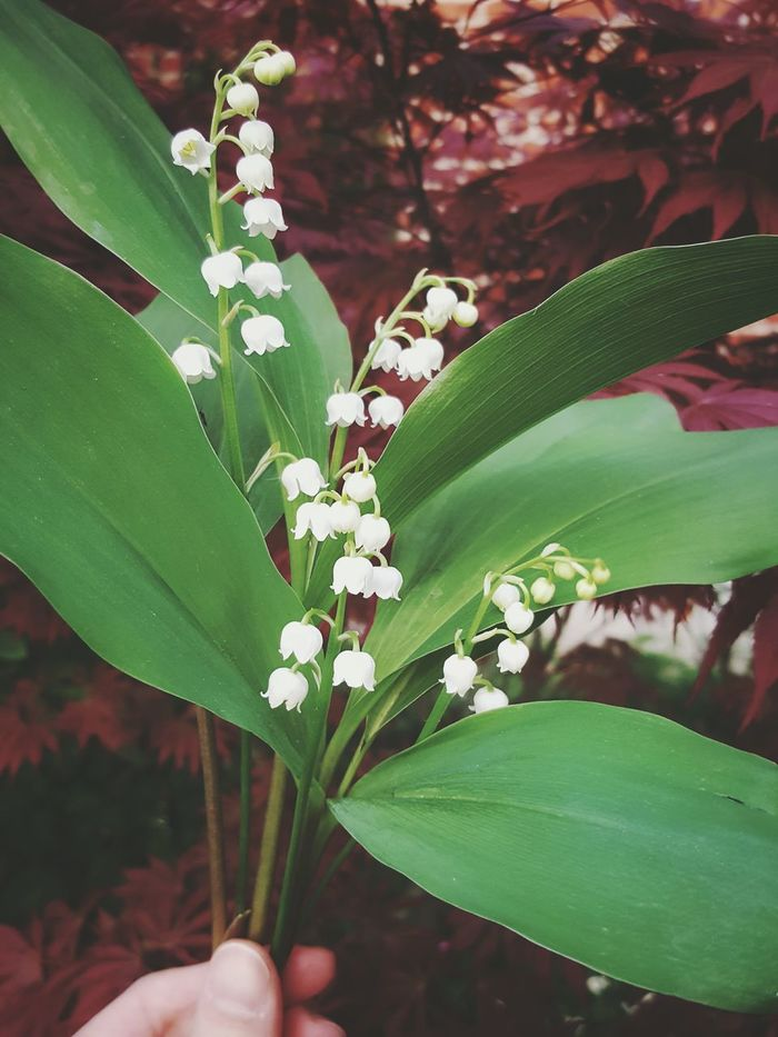 Leaf Plant Flower Growth Green Color Nature Outdoors Fragility Close-up Beauty In Nature Flower Head Lily-of-the-valley Lily Of The Valley Labor Day Freshness Sprig Only Women One Woman Only Human Body Part Human Hand Hand Female One Person 1st May
