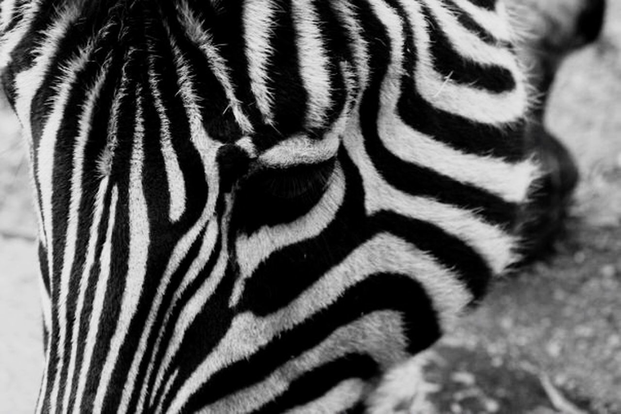Zebra Blackandwhite Black & White Black And White