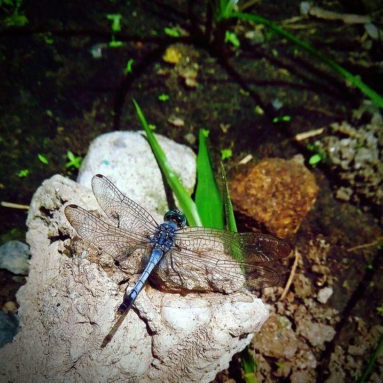 Anthropoda Dragonfly